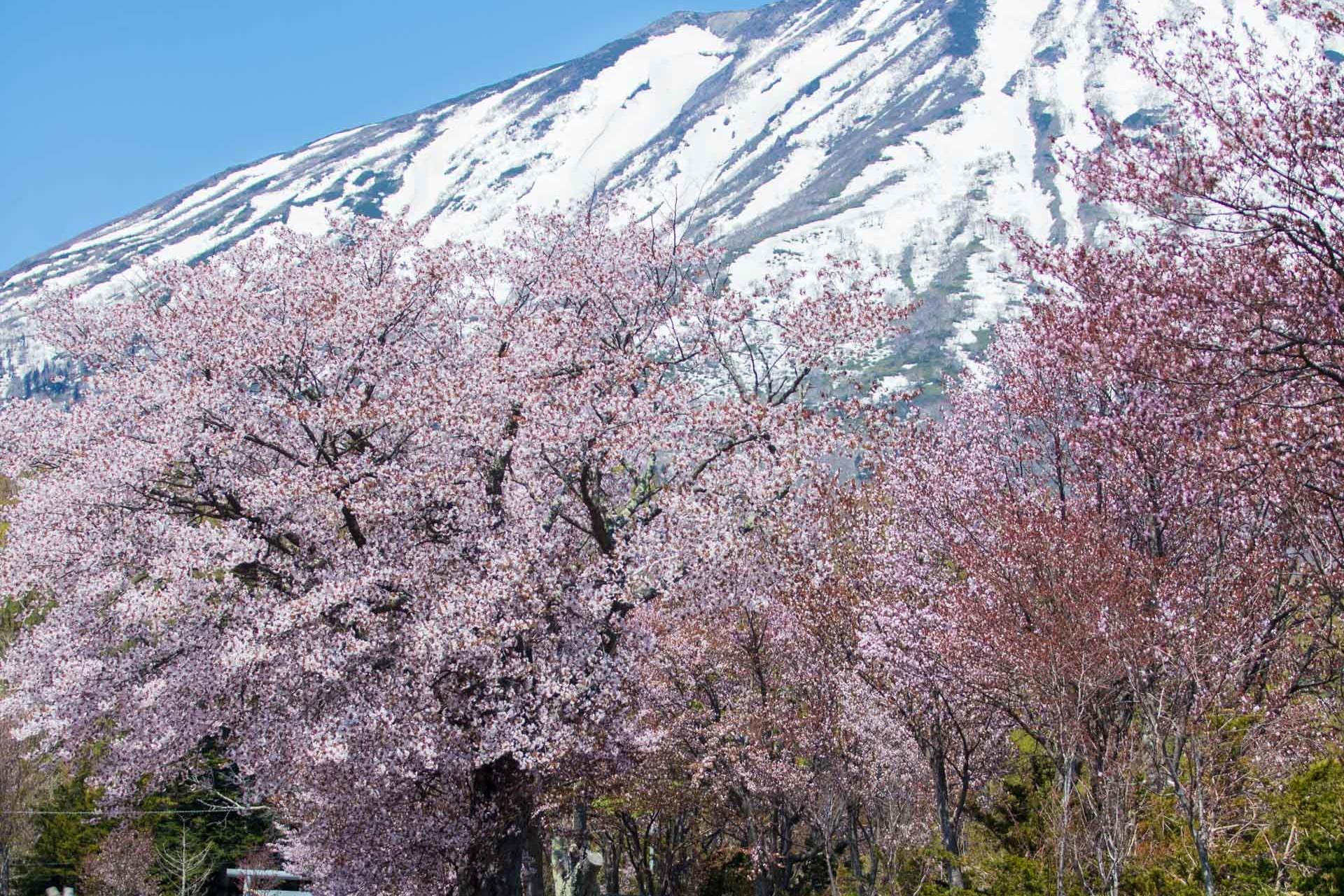 Niseko Sakura
